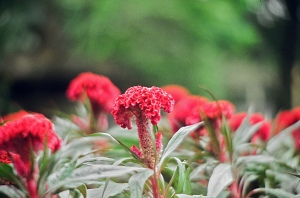 A_Nice_Red_Flowers